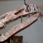 Suchomimus Skull
