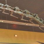 Supersaurus skeleton neck scaled