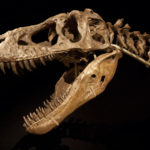 Tarbosaurus skull scaled