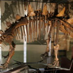 Tuojiangosaurus Skeleton scaled