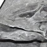 diplodocus skull specimen