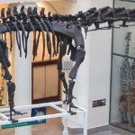 mamenchisaurus skeleton