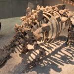 nodosaurus skeleton