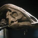 parasaurolophus skull specimen