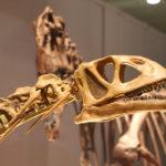 Bellusaurus head