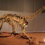 Bellusaurus skeleton