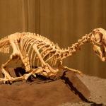 Conchoraptor skeleton