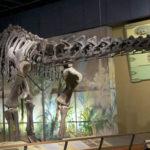 Haplocanthosaurus skeleton scaled