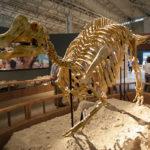 Nipponosaurus skeleton