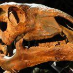 Probactrosaurus skull scaled